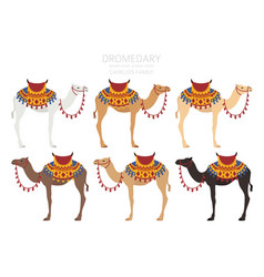 Camelids family collection dromedary camel vector