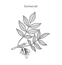 Common ash tree branch vector