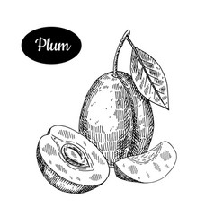 hand drawn sketch style fresh plum vector image