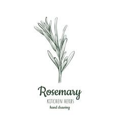 rosemary vector image
