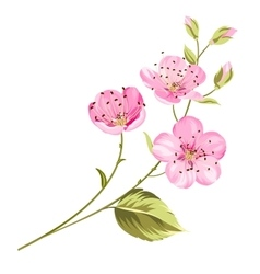 Cherry blossom flowers with leaves vector image