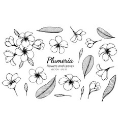 Collection set of plumeria flower and leaves vector