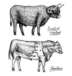 farm cattle bulls and cows different breeds vector image