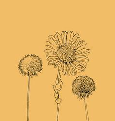 flowers calendula clover vector image