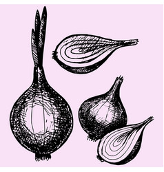 bulb onion with sprout vector image vector image