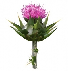 milk thistle vector image