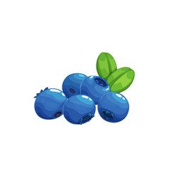 Highbush blueberry superfood isolated blue berries vector