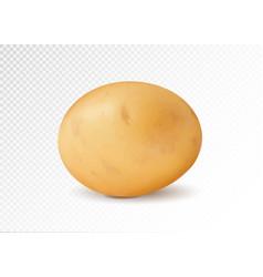 Realistic potato 3d vector
