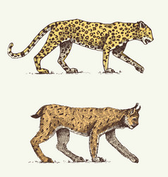 Wild cats set leopard and lynx engraved hand vector