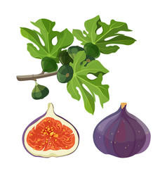 Ficus fruit and branch with leaves vector