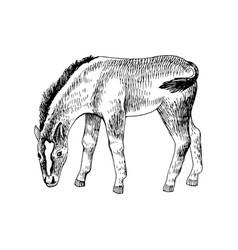 Hand drawn sketch foal grazing vector