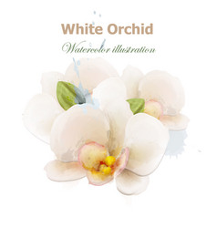 white orchid flowers watercolor isolated vector image