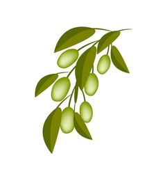 Green Olives on A Branch on White Background vector image