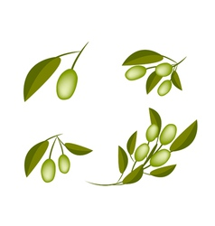 Set of Green Olives on A Branch vector image vector image