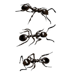 Black ants Isolated on white background vector image
