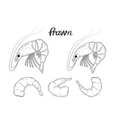 Collection hand drawn prawns sea food vector