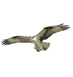 Osprey hawk winged flying on white vector