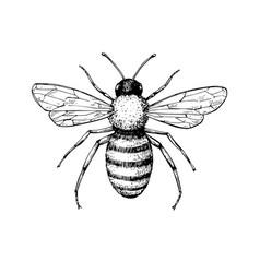 Honey bee vintage drawing hand drawn vector