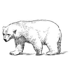 Sketch walking polar bear vector