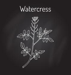 Watercress nasturtium officinale aquatic vector