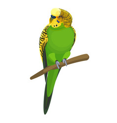 Budgerigar common or shell parakeet informally vector