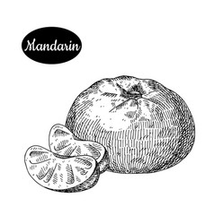 hand drawn sketch style fresh mandarin vector image