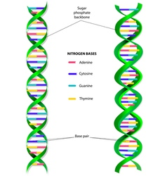 DNA molecule vector image