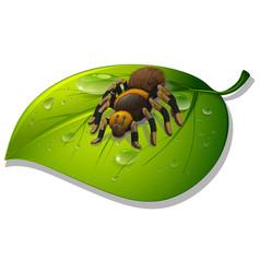 Tarantula spider on green leaf on white background vector