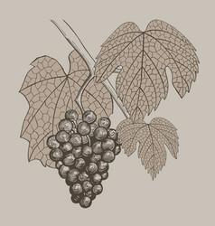 grapes vintage hand drawn vector image