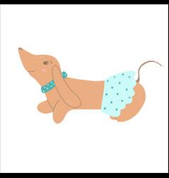 purebred brown dachshund dog wearing skirt vector image