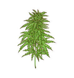 cannabis leaves green weed hemp icon vector image