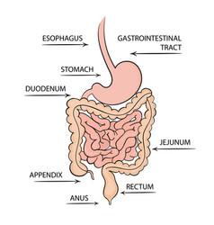 Gastrointestinal tract medicine education diagram vector