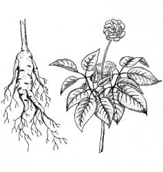 Ginseng panax vector