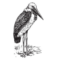 Greater adjutant or ciconiidae vintage engraving vector