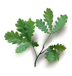 isolated oak branch with green leaves vector image vector image