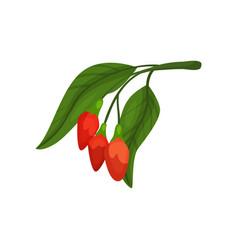 red goji berries on green branch with leaves vector image