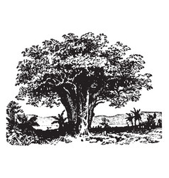 baobab vintage vector image