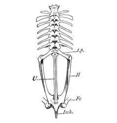 Bullfrog vertebrae vintage vector