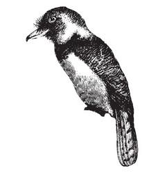 barbet vintage vector image
