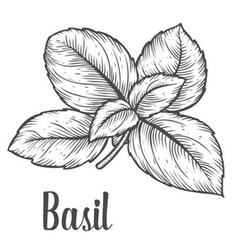Basil herb vector