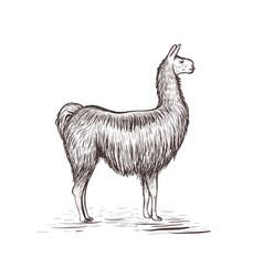 Lama sketch lama vector