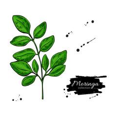 moringa leaves superfood branch drawin vector image
