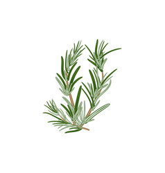 Fresh green sprigs of rosemary on a white vector