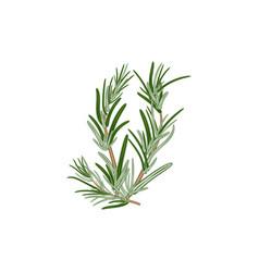 Fresh green sprigs rosemary on a white vector