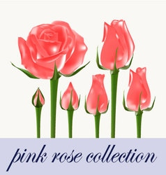 pink rose collection vector image vector image