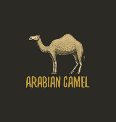 Arabian camel engraved hand drawn in old sketch vector