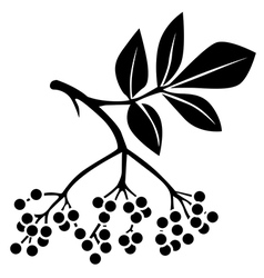 elderberry vector image