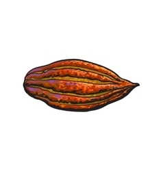 Hand drawn ripe cacao fruit isolated vector image