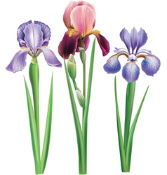 Flowers of iris vector image