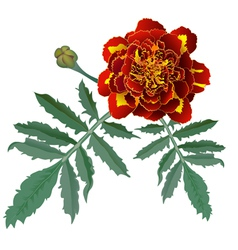 Red marigold flower Tagetes vector